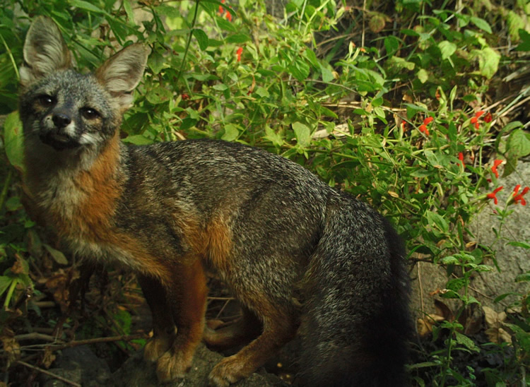 Gray fox of De Luz CA 92028