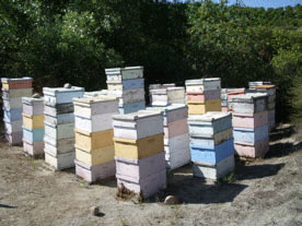 Apiary in avocado grove