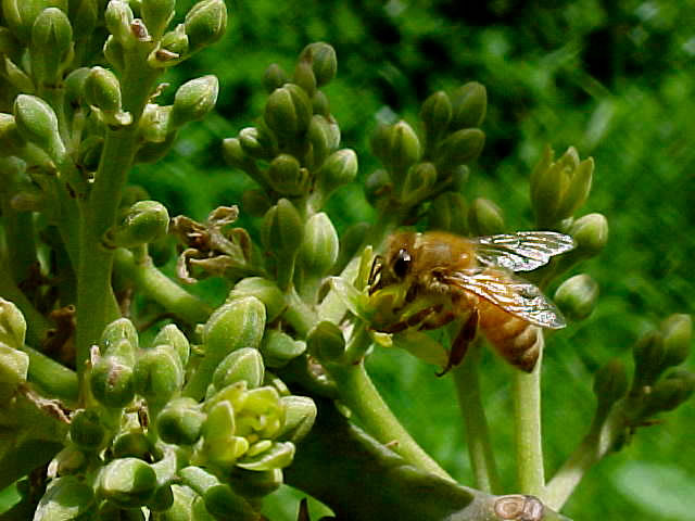 Honeybee pollination of avocados