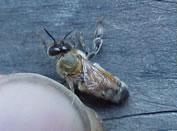 gynandromorh zumbido de abejas