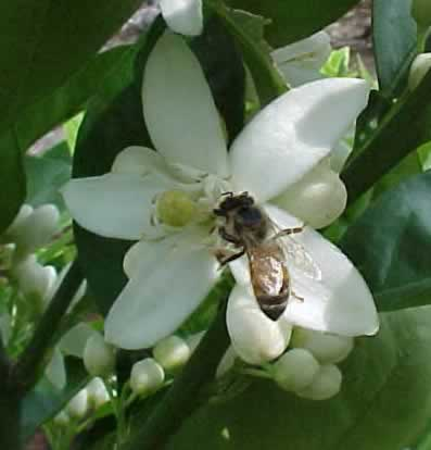 honey bee pollinating an orange blossom